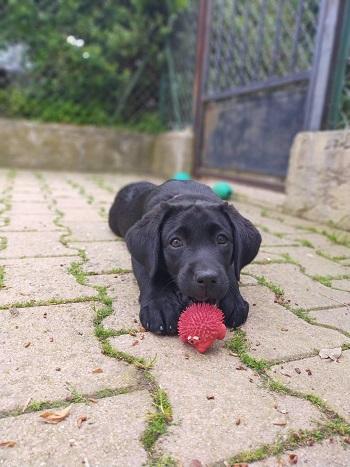 SWING futur chien guide