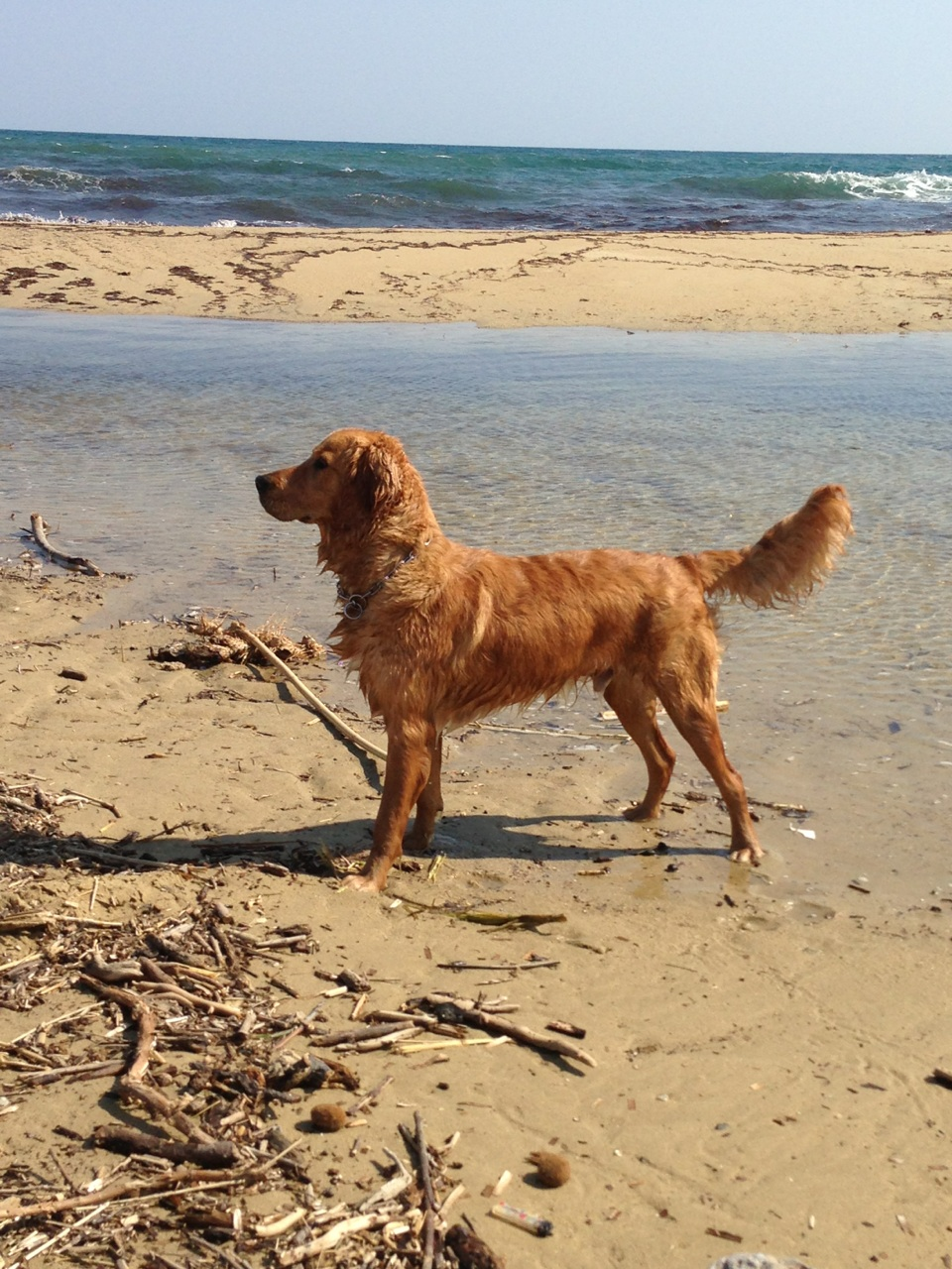 Golden retriever chien guide d'aveugle