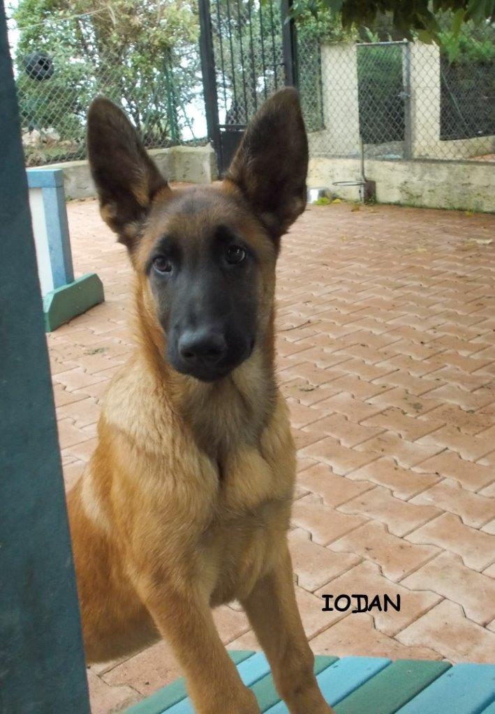 Berger malinois chien guide d'aveugle